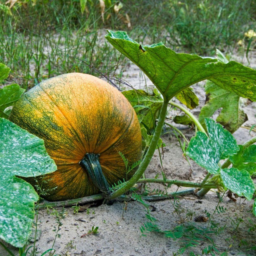 pumpkin in the field in a fall garden