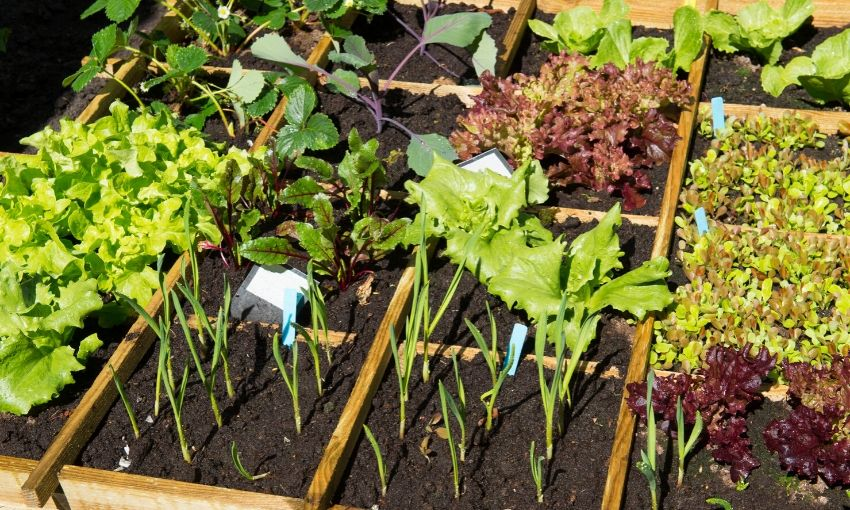 Spring vegetable garden with different lettuce planted in a raised bed.