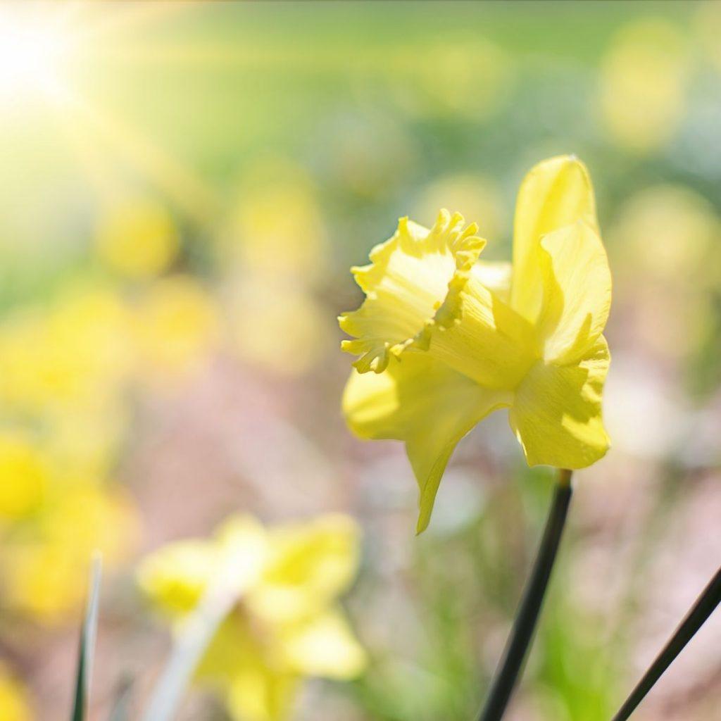 A daffodil in full bloom.