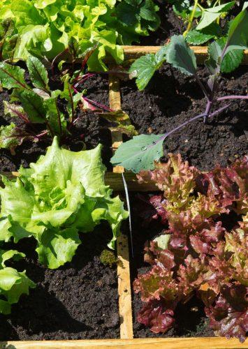 square foot garden growing lettuce