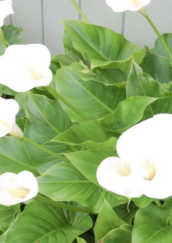 How to Grow Calla Lilies + Caring for Calla Lilies