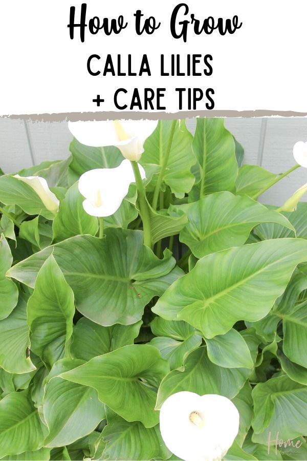 white calla lilies via @homebyjenn