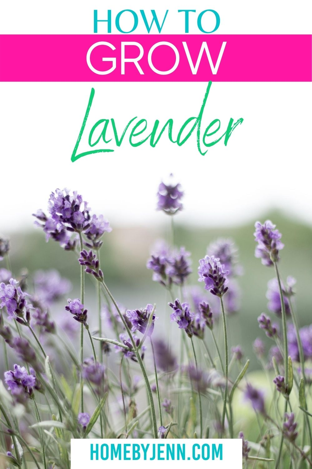 Learn how to grow lavender. You'll learn some great tips and tricks so you can enjoy lavender in your home garden. via @homebyjenn