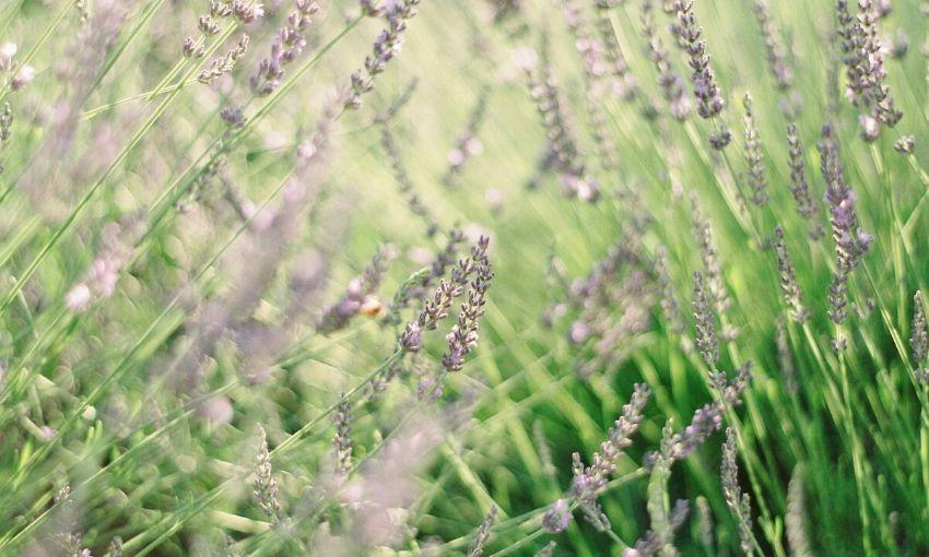 a lavender plant.
