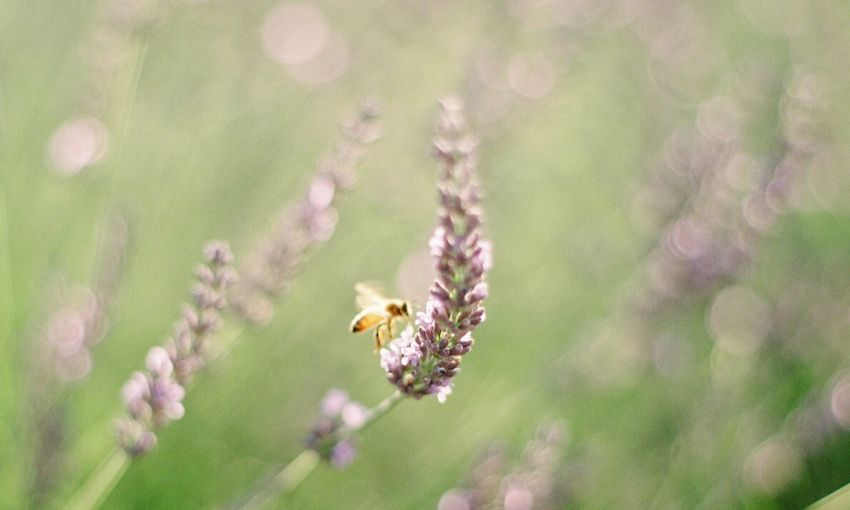 lavender with a bee.