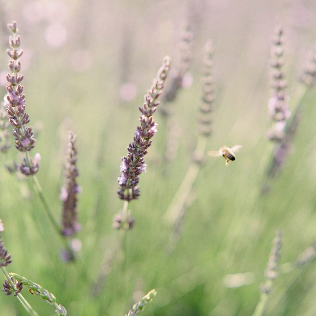 lavender with a bee flying.