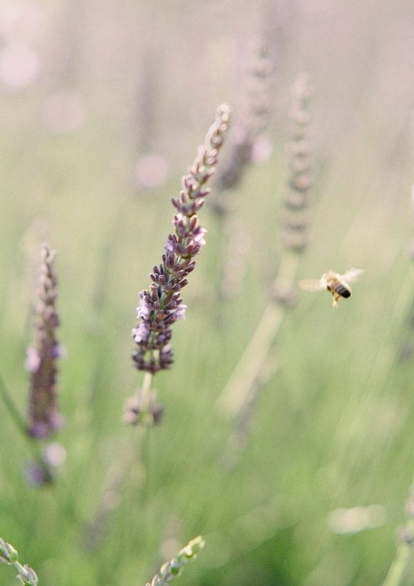 a lavender plant with a bee flying
